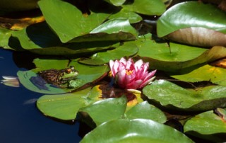 Frog and Waterlillies