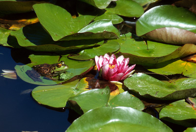 Frog on lilypad in pond