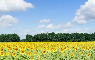 Field of sunflowers with blue sky & clouds