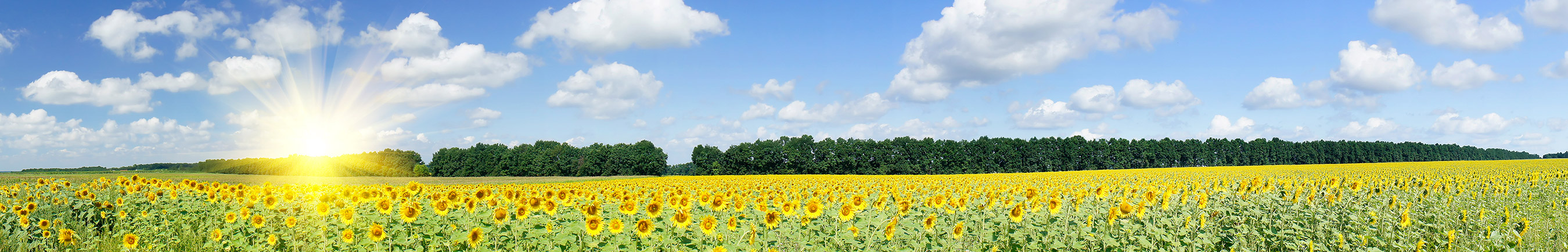 blog_sunflowers