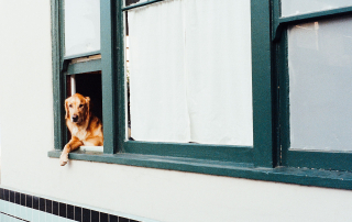 Dog leaning out a window