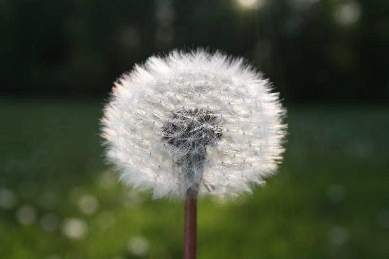 Dandilion puff-ball