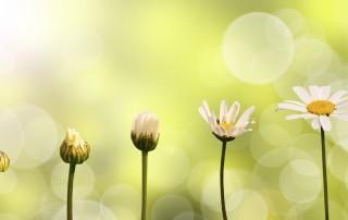 daisies growing