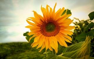 large single sunflower