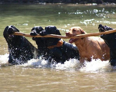 Dogs carrying big stick together